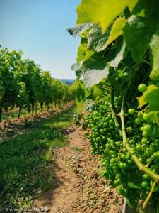 Grappes et rang de vignes - domaine du Château Gayon le 24 juin 2020